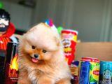 Minyatür boy tesdybear Pomeranian Boo