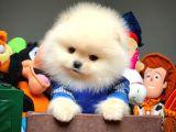 Sağlık ve ırk garantili Pomeranian yavrularımız