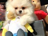 Orjinal Pomeranian Boo Ayıcık Yüz Yavrularımız