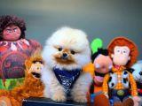 Birbirinden Güzel Safkan Minyatür Pomeranian Boo