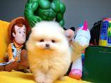Gülen surat Pomeranian Boo