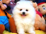Sağlıklı karneli yeni Pomeranian yavrumuz