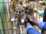 Üretim Çiftliğimizden Show Class Japon Akita İnu Yavrular