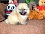 Muhteşem Güzellikte Irkının En İyisi Pomeranian Boo