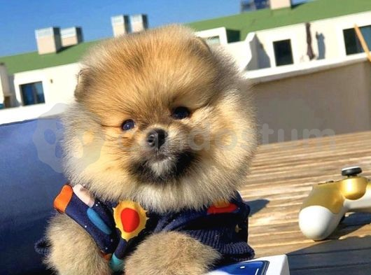 Türkiyenin En Güzel Pomeranian Boo Yavruları