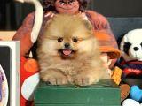 AA Kalite Irk ve Sağlık Onaylı Safkan Pomeranian Boo Yavruları