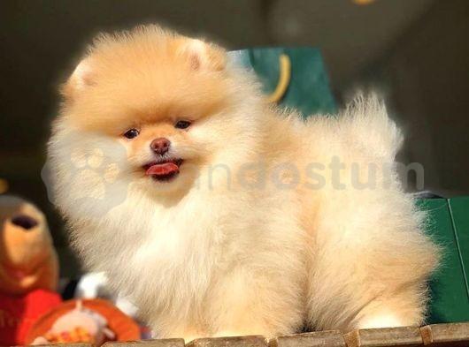 Ev/Apartman Bakimina En Uygun Irk Pomeranian Boo Yavruları