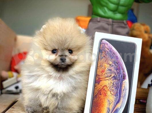 Safkan TeddyBear Ayıcık Surat Pomeranian Boo Yavruları