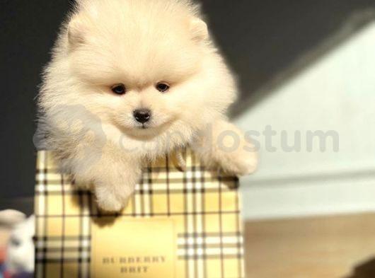 Muhteşem Güzellikte Safkan Pomeranian Boo Yavruları