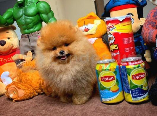 Yarışma Düzeyi FCİ Secereli Pomeranian Boo Yavrularımız