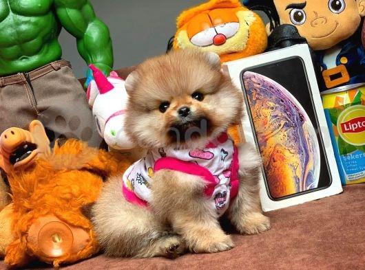 Türkiyenin En Büyük Pomeranian Boo Ailesi