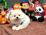 Sağlık ve Irk Garantili Safkan Pomeranian Boo Yavruları