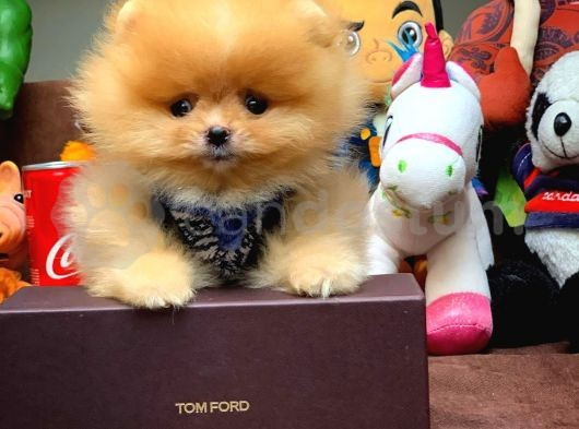 Show Class Safkan Secereli Pomeranian Boo Yavruları