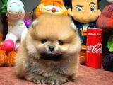 Her Hafta Güncellenen Birbirinden Güzel Pomeranian Boo Yavruları