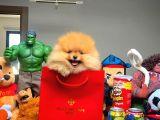 ELİTPATİCİKLER den Teddyface Pomeranian Yavruları