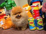 Teddyface Pomeranian Yavruları