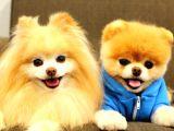 Pomeranian boo teddybear surat yapısı