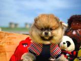 Pomeranian Boo Yavrumuz Buddy