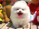 Pomeranian Boo Yavrumuz Mike