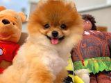 Pomeranian Boo Yavrumuz Felix