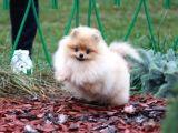 Pomeranian Boo Yavrumuz Linda