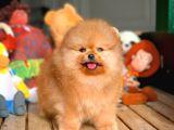 Pomeranian Boo Yavrumuz Daisey