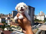 Sevimli ve Sağlıklı Teacup Maltese Terrier Yavrularımız
