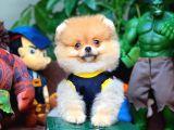 Show kalitede olan Pomeranian boo yavrularımız