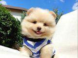 Orjinal Pomeranian Boo Yavrularımız 0543 223 4403