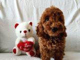 Orjinal Poodle-Toy yavrular