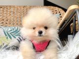 Pomeranian boo ırk garantili safkan yavrularımız