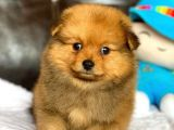 Pomeranian Mini Yavrumuz Geldi