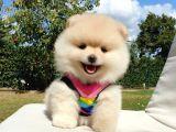 Satılık Pomeranian Boo Yavrularımız 0543 223 4403