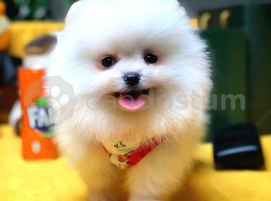 Irk ve sağlık garantili Pomeranian