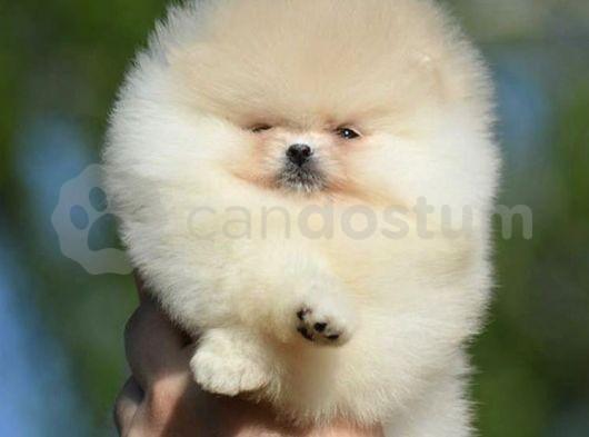 Mini boy teddyface Pomeranian