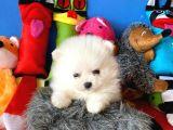 Ayı Surat Beyaz Pomeranian Boo Yavrularımız.