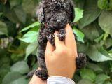 Siyah black toy poodle dişi yavrularımız