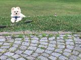 Satılık Erkek Pomeranian Fiyat 6.000 TL