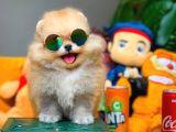 Pomeranian yavrularımız rezrveye açıktır