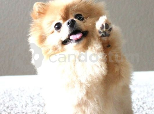 @YAVRUPATİLER den yeni Pomeranian boo
