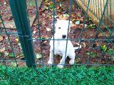 2-3 aylık Dogo Arjantin dişi yavru orjinal