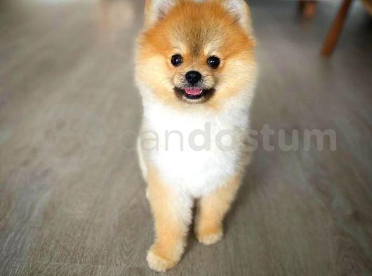 Yetişkin oğlumuz şampiyon Pomeranian boo / SCR li