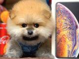 Safkan SCR'li Pomeranian Boo Yavrularımız