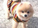 Güzel Pomeranian Boo Yavruları