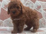 RED BROWN TOY POODLE YAVRULARI @catboyssss