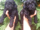 Black toy poodle erkek yavrularımız