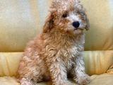 3.5 aylık toy poodle erkek yavrumuz