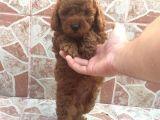 @catboyssss güvencesiyle red brown toy poodle yavrularımız
