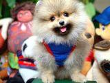 @yavrupatiler'den yavru oğlumuz puppy /pomeranian boo