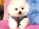 Ayı Surat Pomeranian Boo yavrularımız